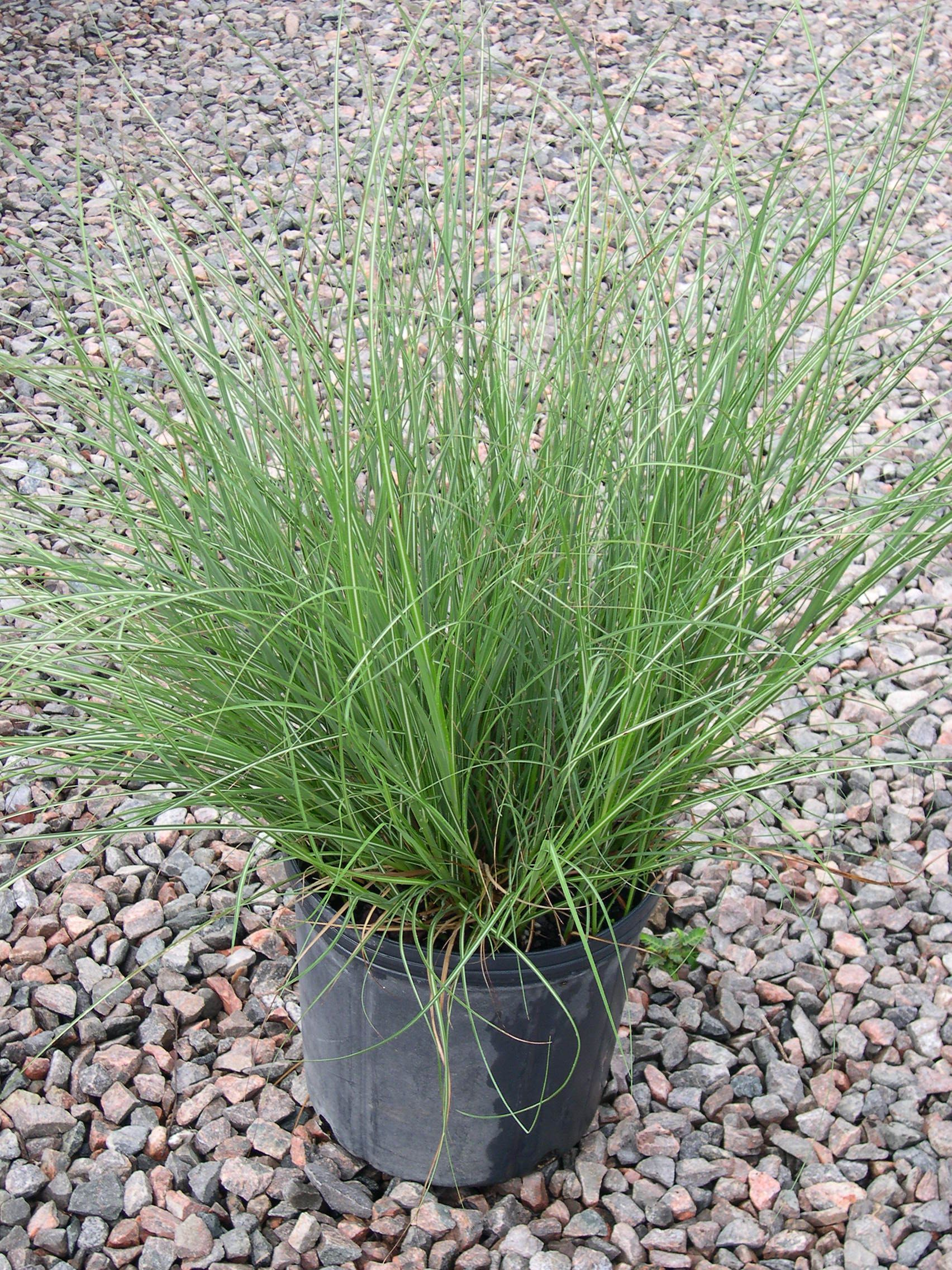 Miscanthus 39 adagio 39 dwarf maiden grass for Variegated ornamental grass varieties