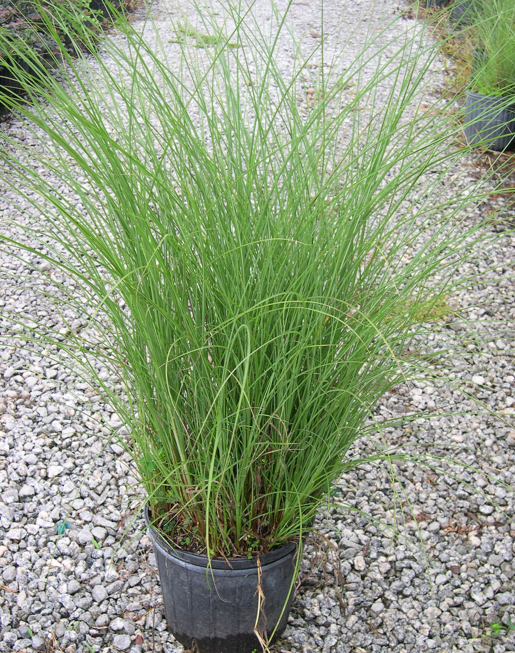 miscanthus 39 gracillimus 39 maiden grass. Black Bedroom Furniture Sets. Home Design Ideas
