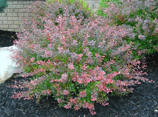 Berberis Thunbergii Atropurpurea Crimson Pygmy Barberry 'C...