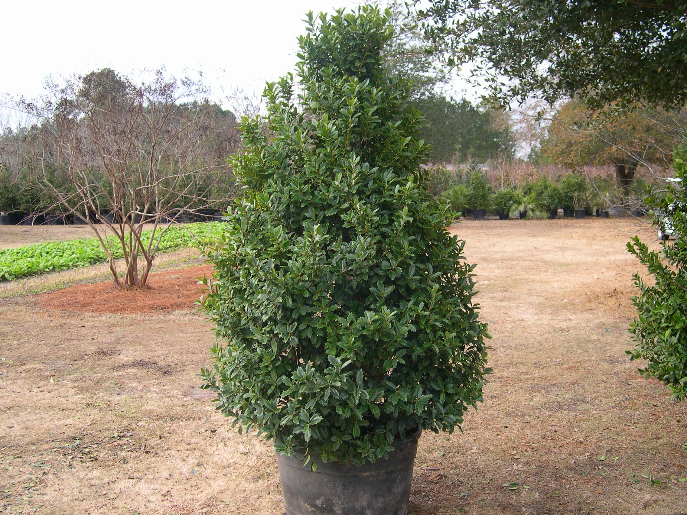 Wise Nurseries Trees Holly 'Oakleaf'