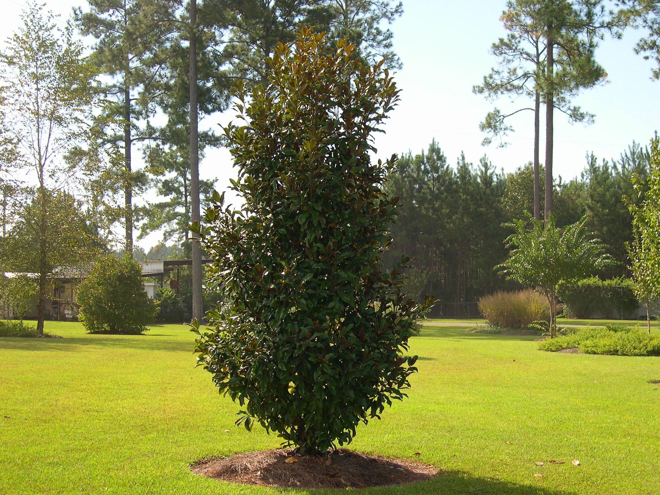Magnolia Bracken Brown Beauty
