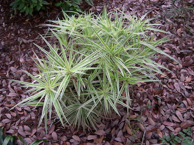 Carex 39 sparkler 39 for Variegated ornamental grass