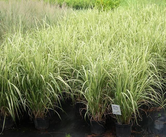miscanthus 39 cabaret 39 japanese silver grass