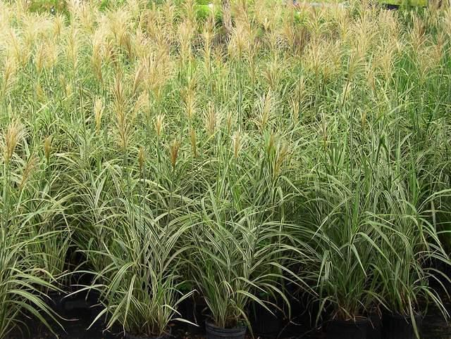 Miscanthus 39 cosmopolitan 39 japanese silver grass for Perennial grasses for sun