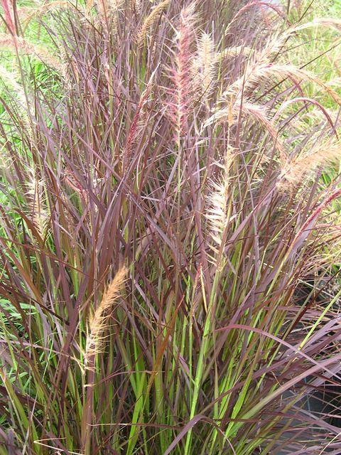 Pennisetum 39 rubrum 39 for Full sun perennial grasses