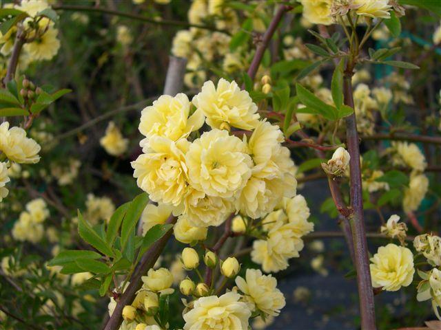Rose 39 Lady Banks 39