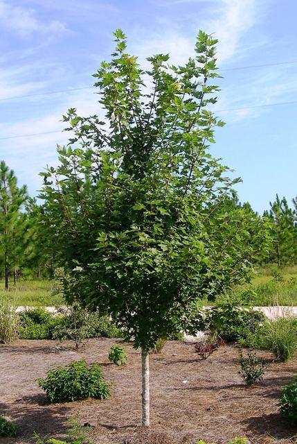 Maple 39 autumn blaze 39 for Fast growing drought tolerant trees