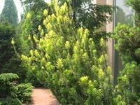 Yew 'Fastigiata' Upright