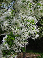 Chionanthus retuses- Chinese Fringe Tree